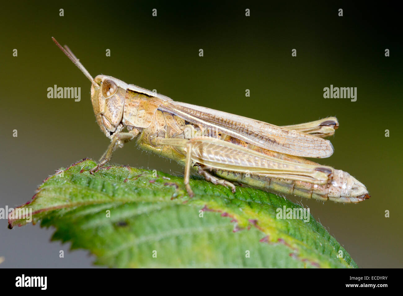 Lesser Marsh Grasshopper (Chorthippus albomarginatus) adult female basking on a leaf. Shropshire, England. August. - Stock Image
