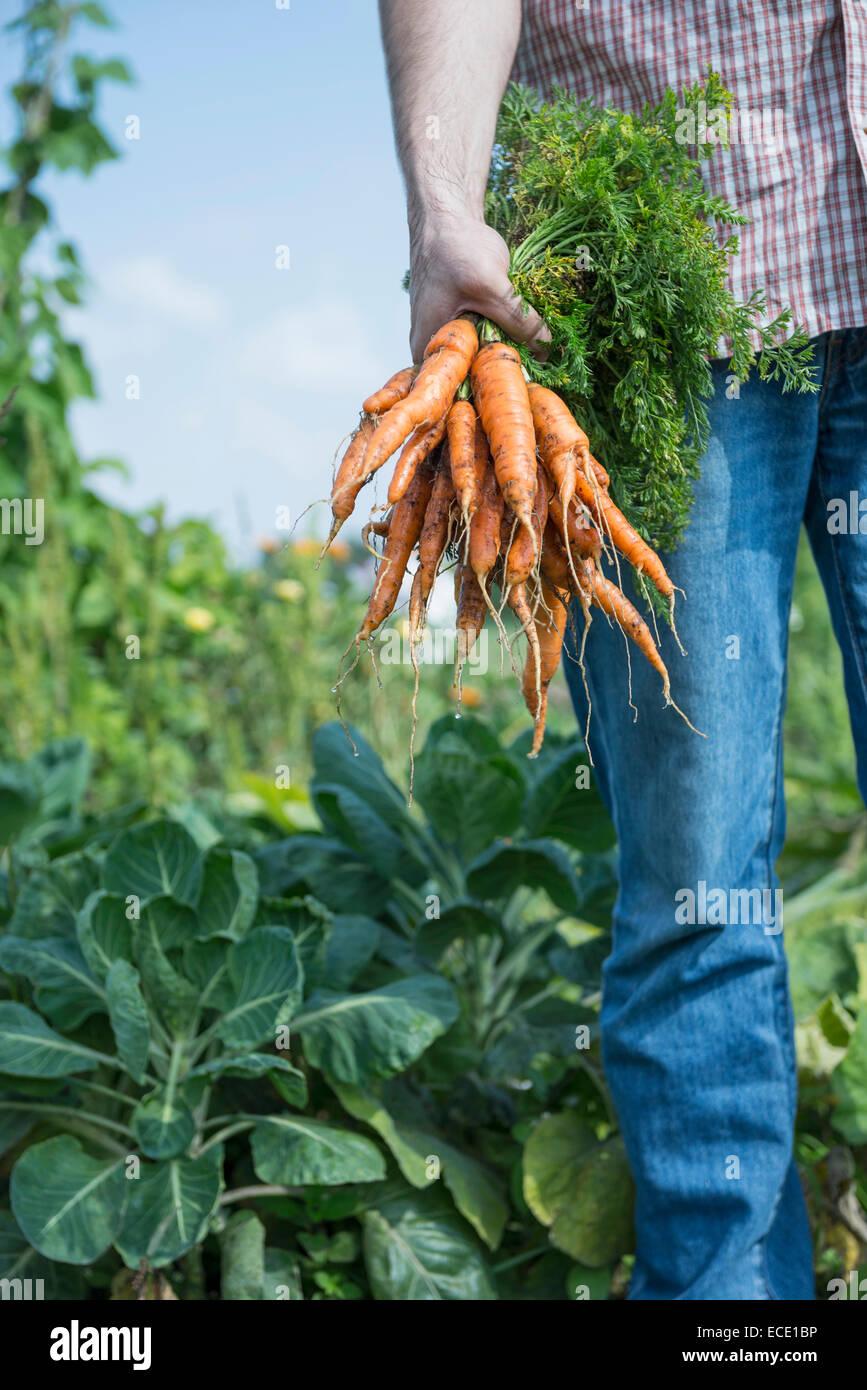 Growing own vegetables man garden carrots - Stock Image