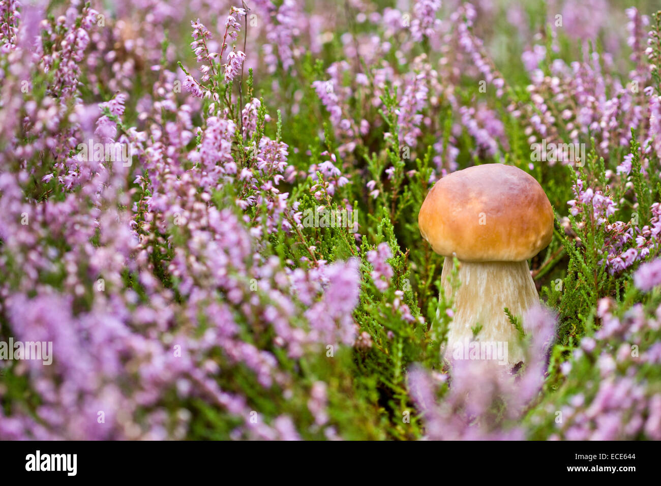 Little boletus on the background of violet heather in the wild - Stock Image