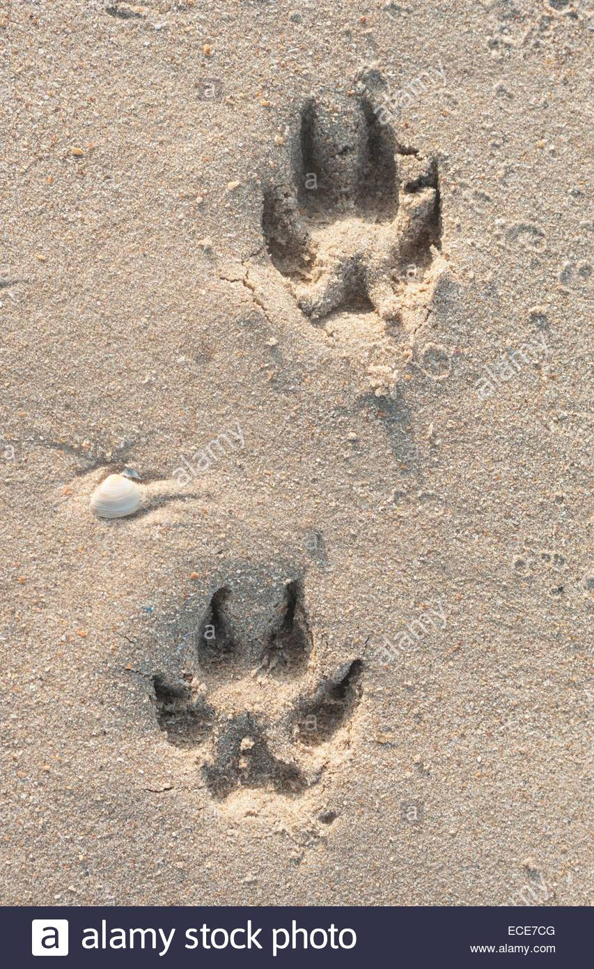 D Ijmuiden / Zandvoort. Dog tracks in the sand - Stock Image