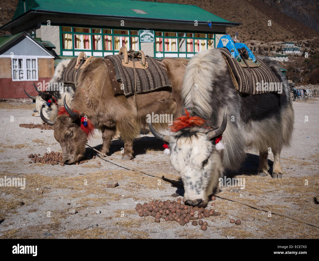 Yaks being fed potatoes in Khumjung, Khumbu region, Nepal - Stock Image