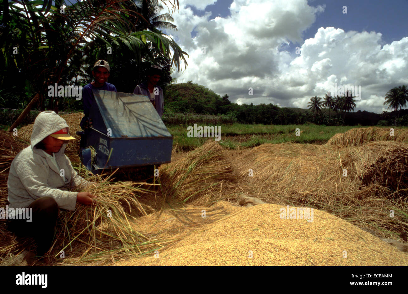 Process of separating rice grains. Bohol. The Visayas. Philippines. Traditional harvesting and threshing of rice,Bohol,Island,Ph - Stock Image