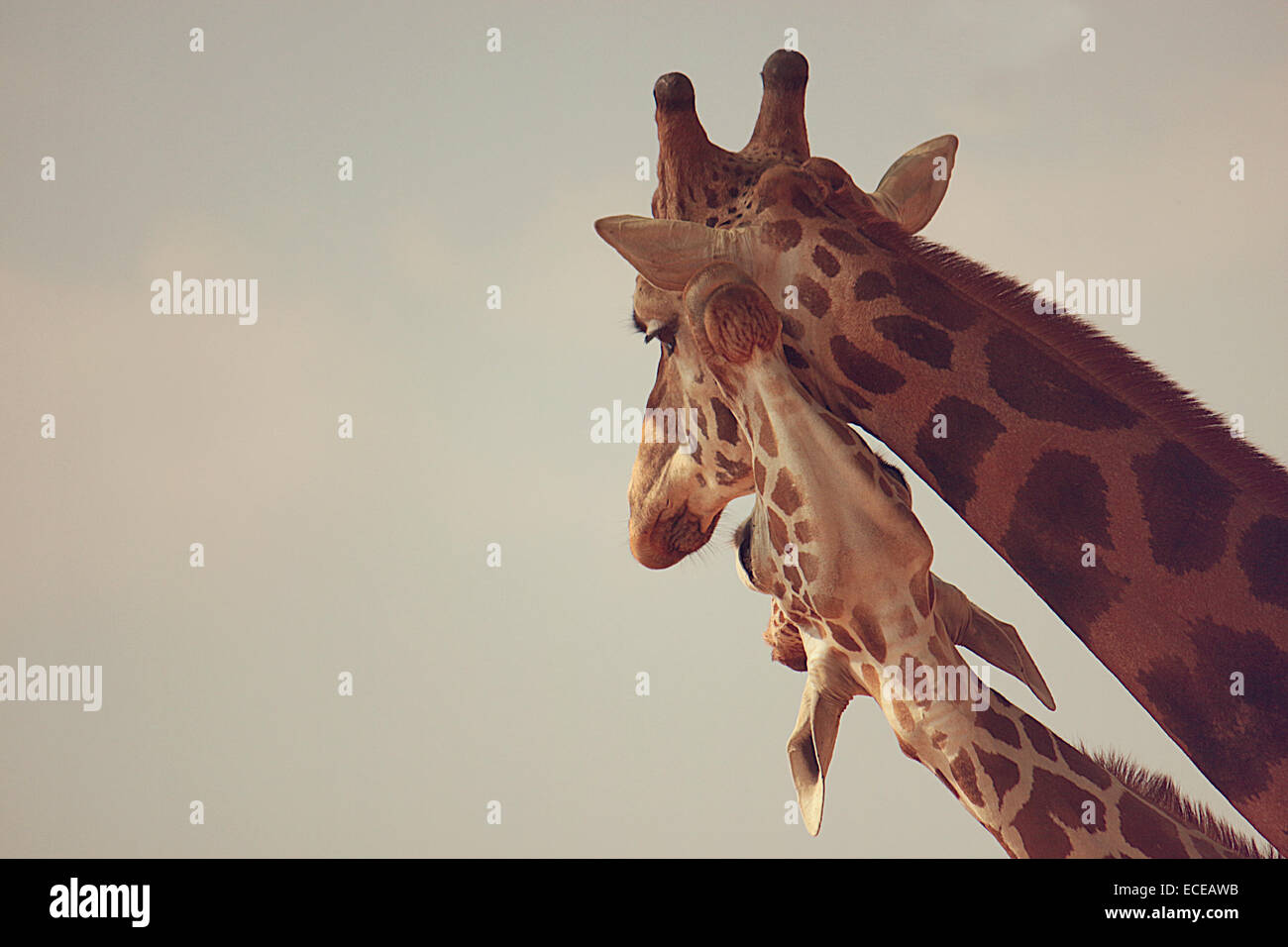 Two giraffes in zoo - Stock Image