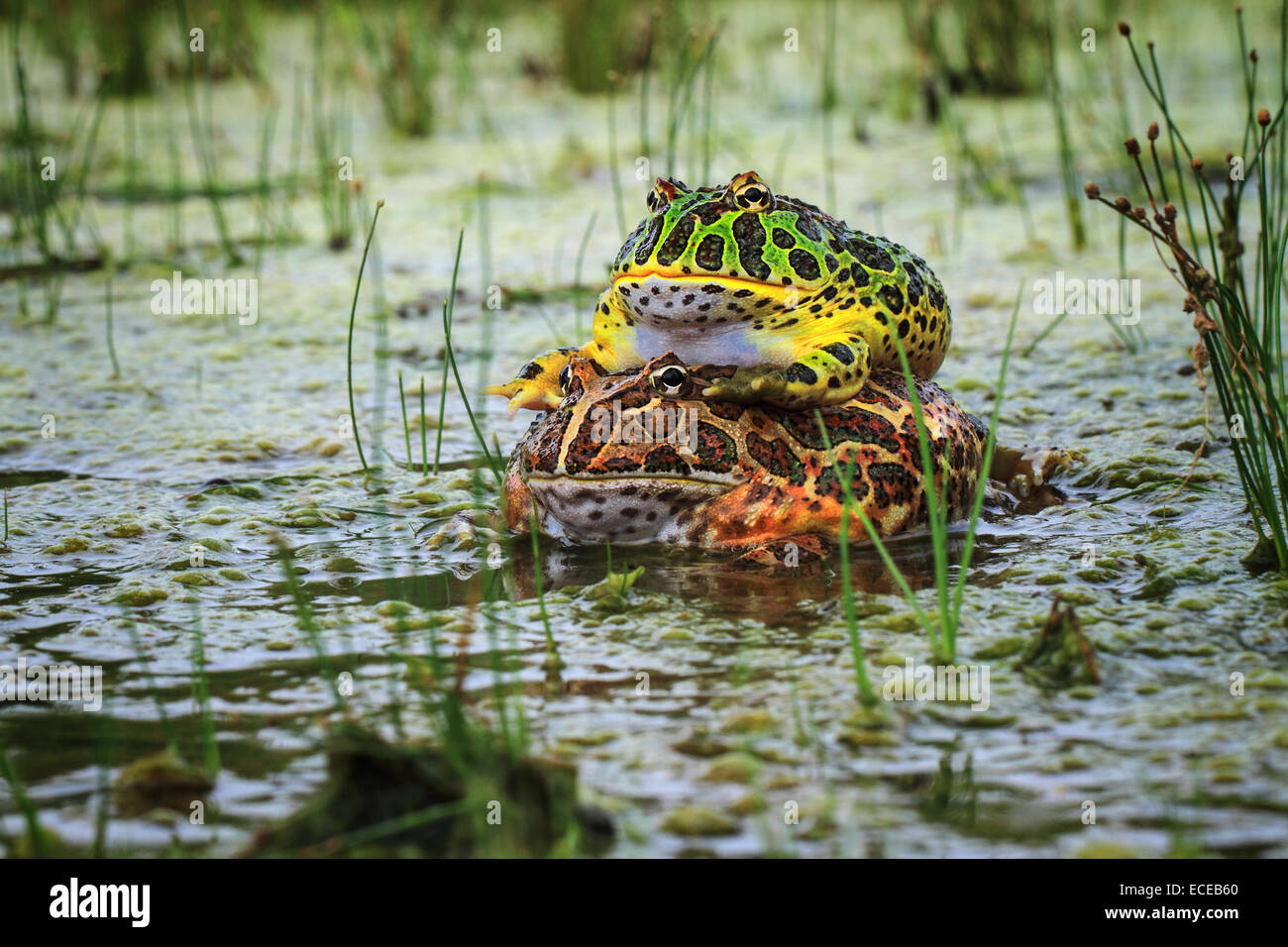 Toads mating in pond, Indonesia - Stock Image