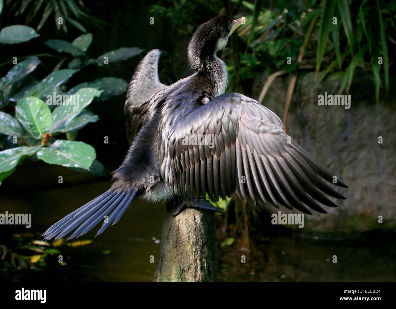 Juvenile Australian Little pied cormorant (Phalacrocorax melanoleucos, Microcarbo melanoleucos) drying feathers - Stock Image