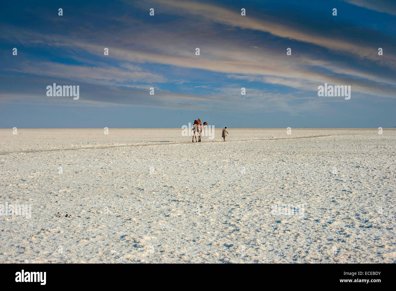 India, Gujarat, Camel and man are walking in white desert of Kutch - Stock Image