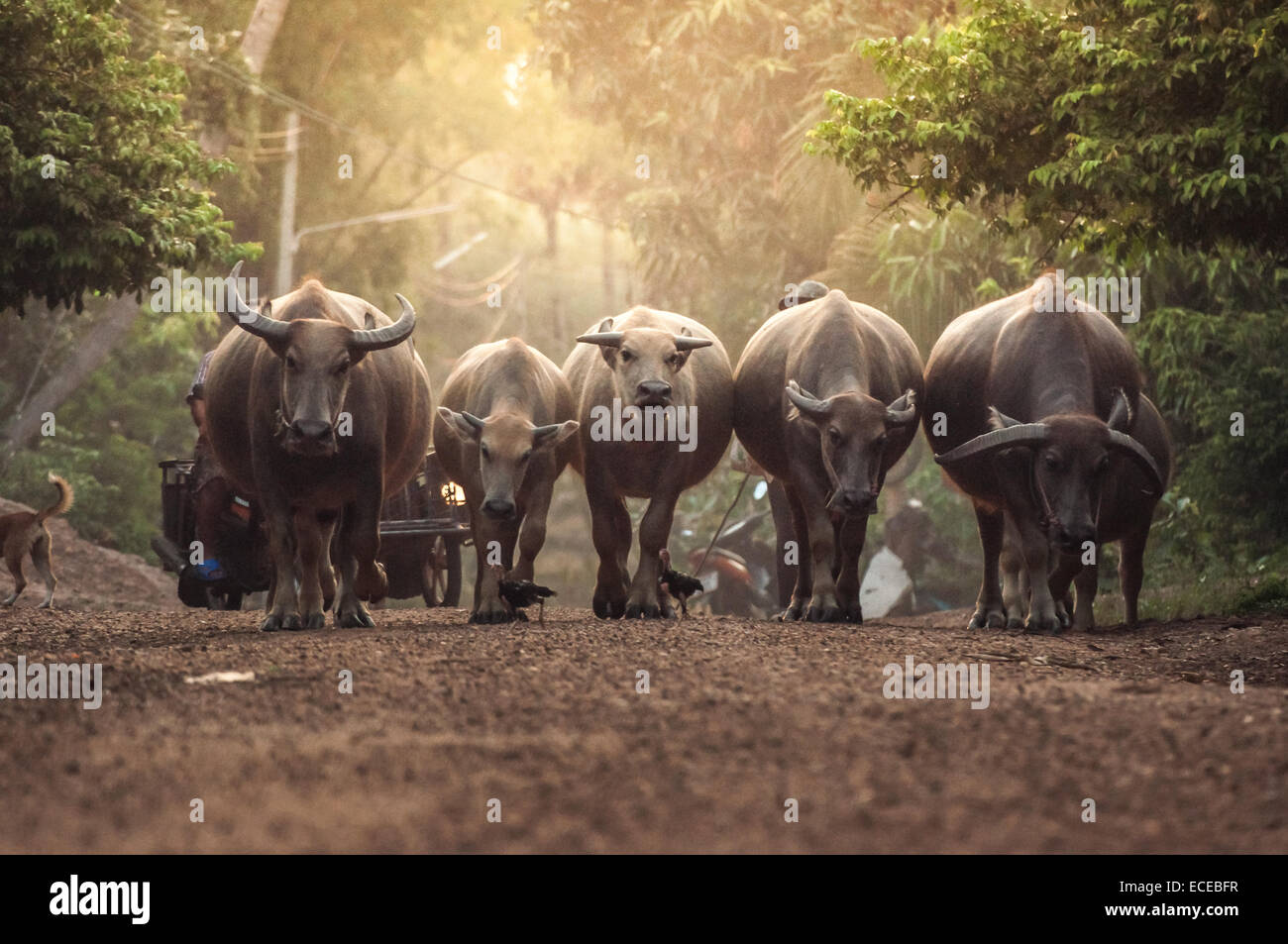 Buffalos in forest - Stock Image