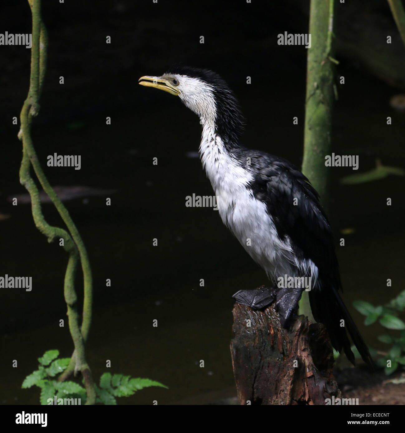 Australian Little pied cormorant (Phalacrocorax melanoleucos, Microcarbo melanoleucos) - Stock Image