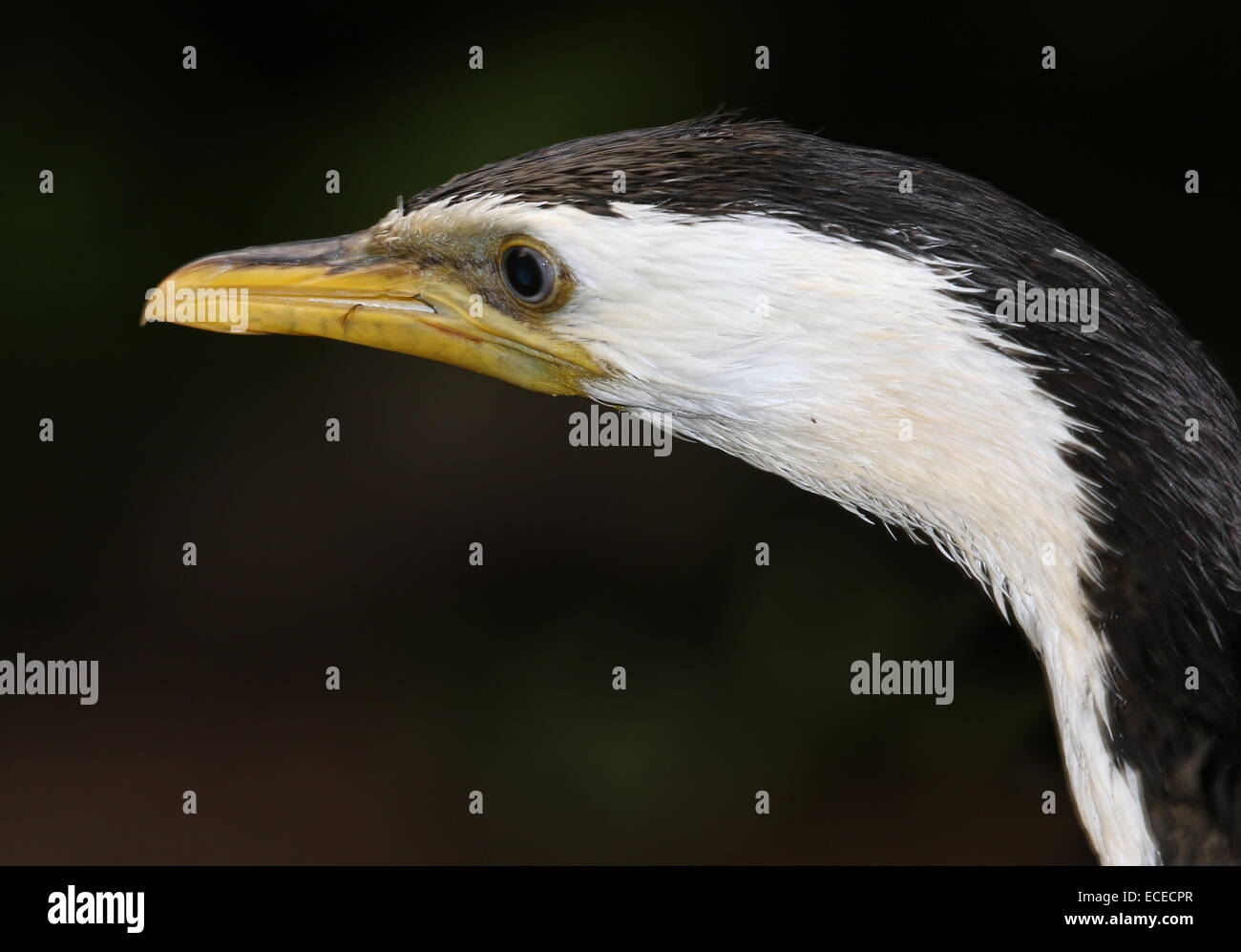 mature  Australian Little pied cormorant (Phalacrocorax melanoleucos, Microcarbo melanoleucos) close-up of the head - Stock Image