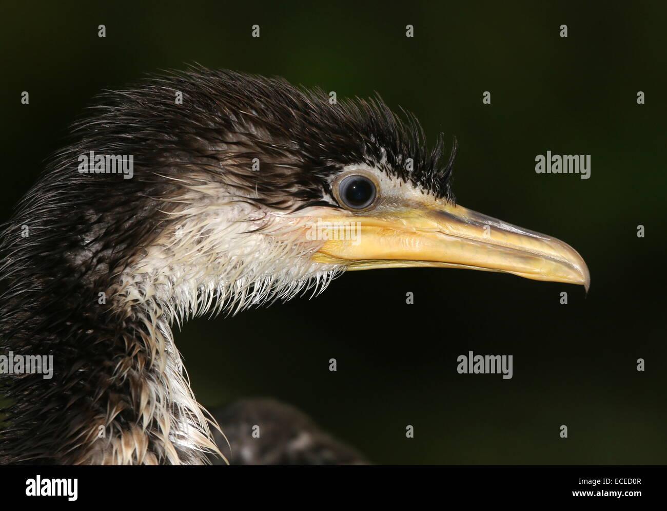 Juvenile Australian Little pied cormorant (Phalacrocorax melanoleucos, Microcarbo melanoleucos) close-up of the - Stock Image
