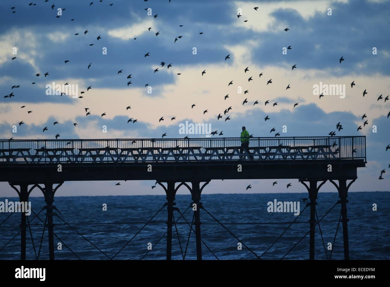 Aberystwyth, Wales, UK. 12th December, 2014.  Starlings fly in to roost for the night on Aberystwyth pier. A member - Stock Image