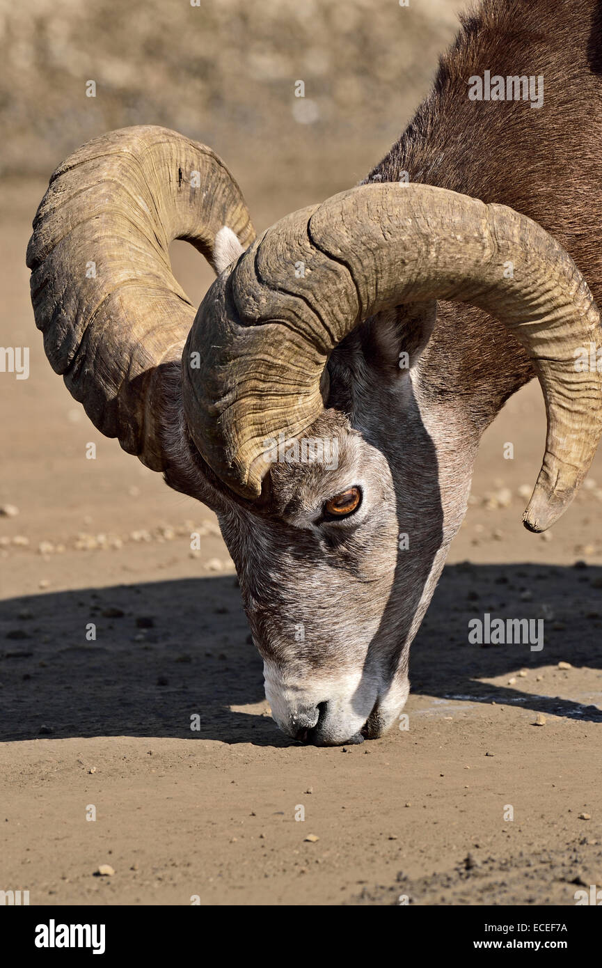 A close up image of a Bighorn Ram licking mineral from the gravel road - Stock Image