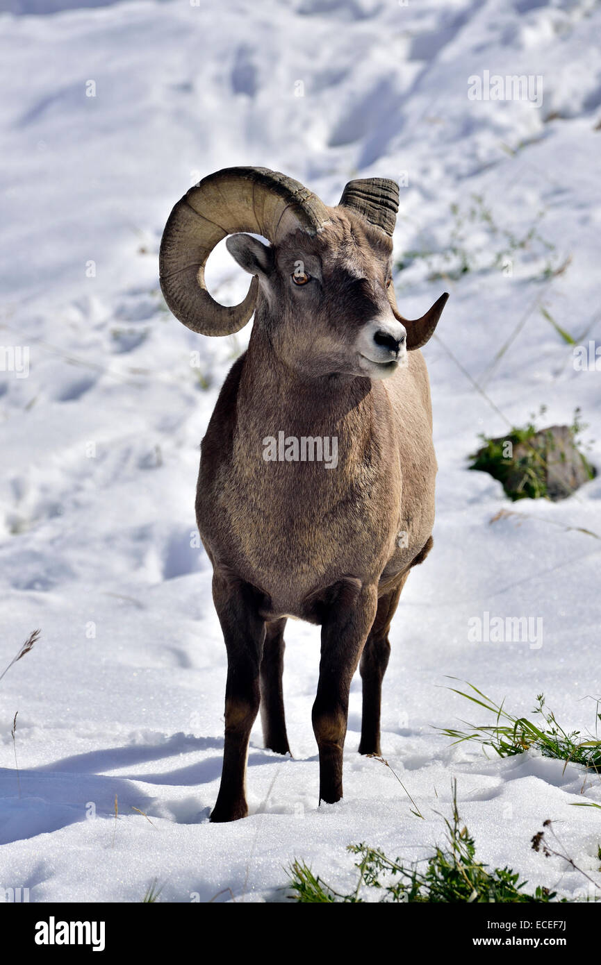 A wild rocky mountain bighorn sheep standing in the fresh snow - Stock Image