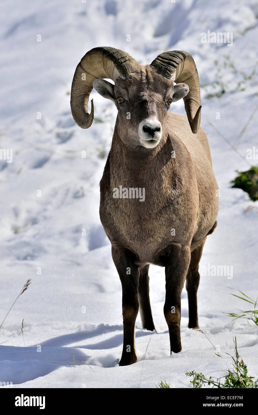 A front view image of a wild rocky mountain bighorn sheep standing in the fresh snow - Stock Image