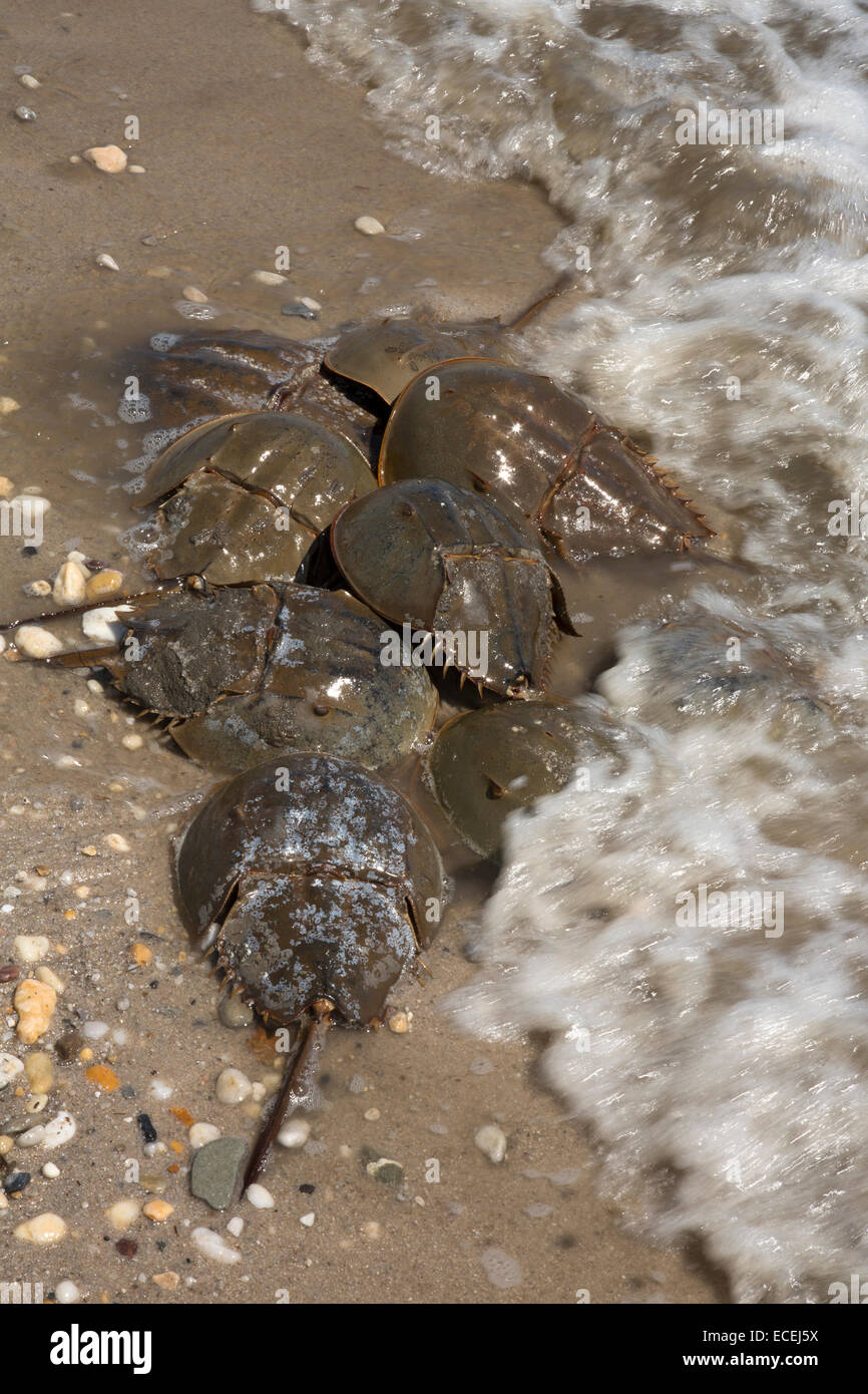 Horseshoe Crabs, Limulus polyphemus, Delaware bay, Delaware, coming ashore to breed - Stock Image