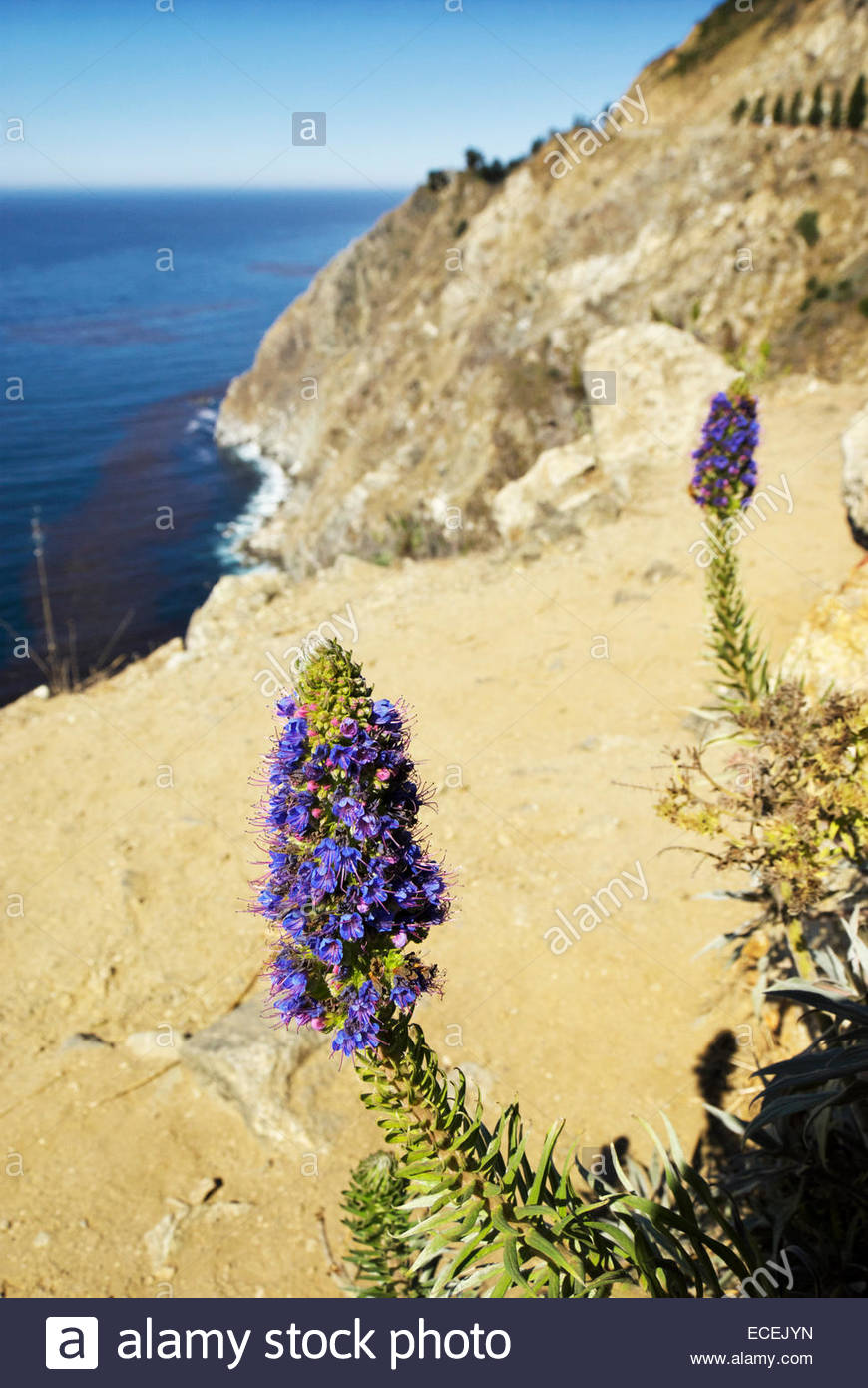 Lupine flowers in early autumn grow wild beside the Cabrillo Highway, overlooking the Pacific Ocean in Big Sur. - Stock Image