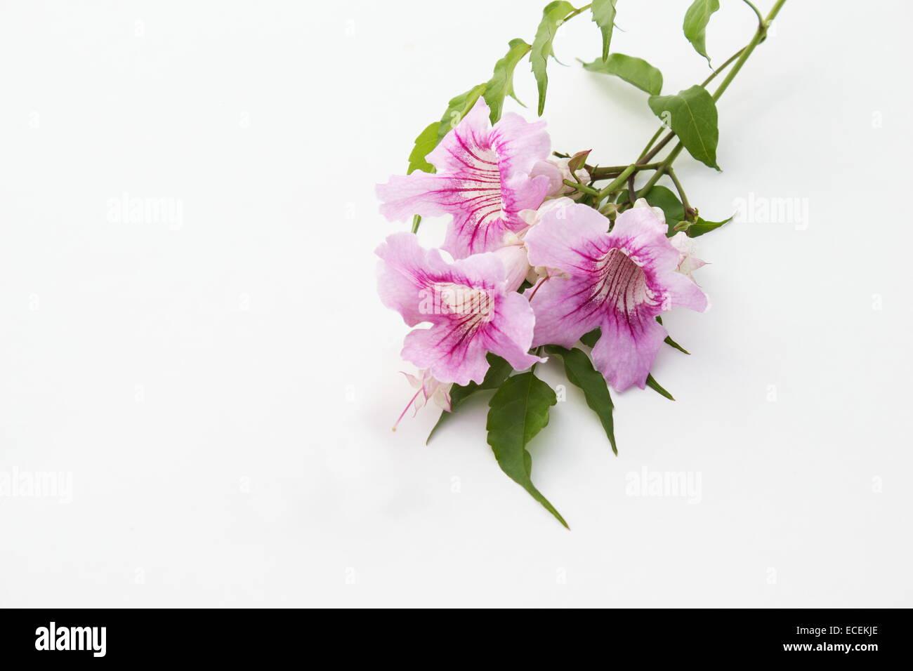 Pink Trumpet Vine Flowers Podranea Ricasoliana On White Background