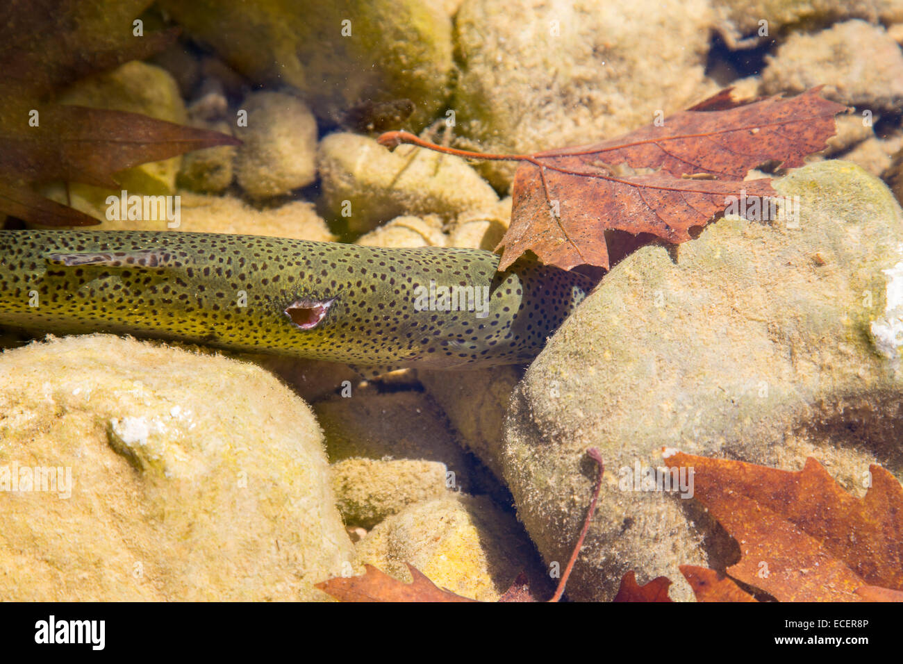 Injured trout fish is hiding under the stone in the river water - Stock Image