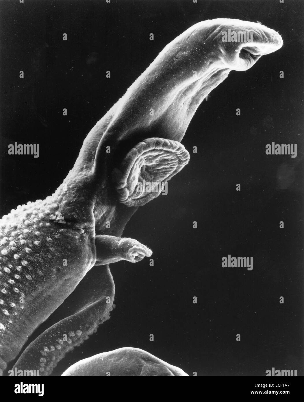 Scanning electron micrograph of a schistosome parasite, which enters the body through the skin of persons coming - Stock Image