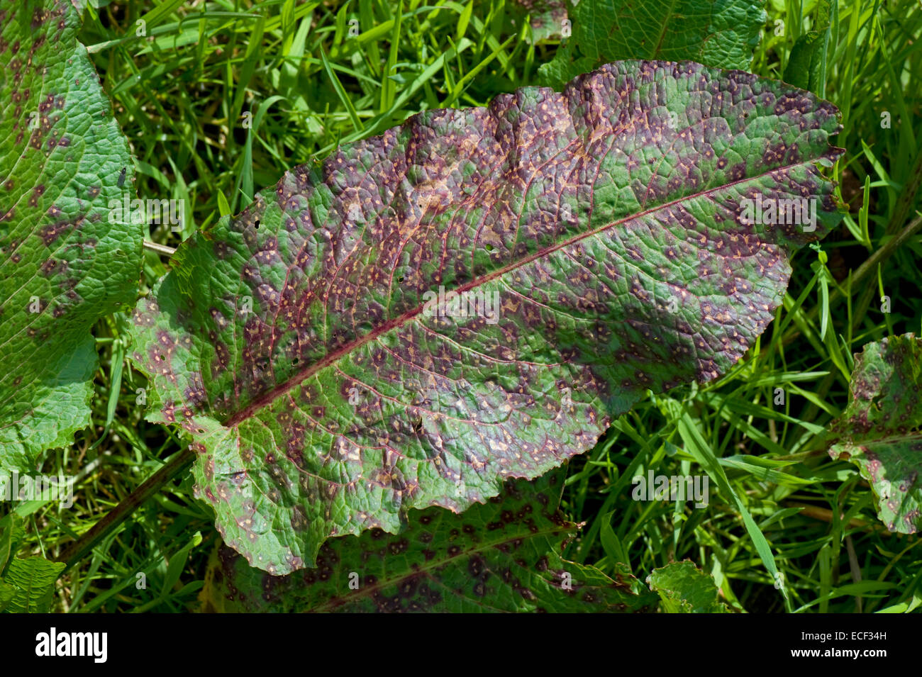A leaf spot, Ramularia rubella, seriously affecting a leaf of broad dock, Rumex obtusifolius, Berkshire, May - Stock Image
