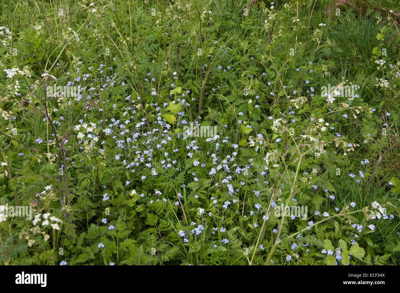 Field forget-me-not, Myosotis arvensis flowering with umbellifers and other plants on roadside margin, Bershire, - Stock Image