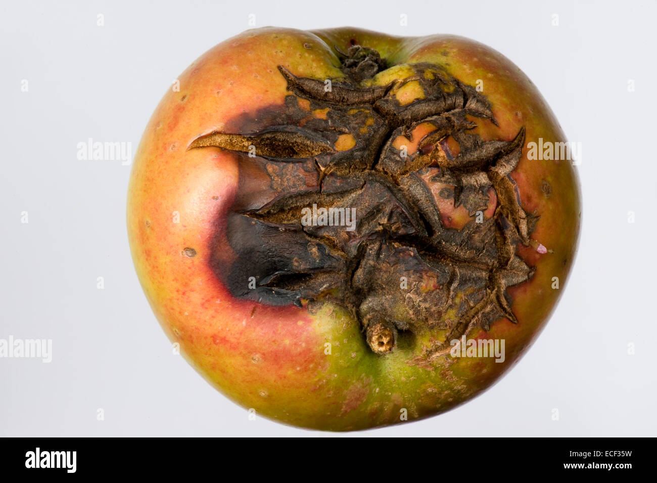 Severe cracking on an apple fruit in dry weather - Stock Image