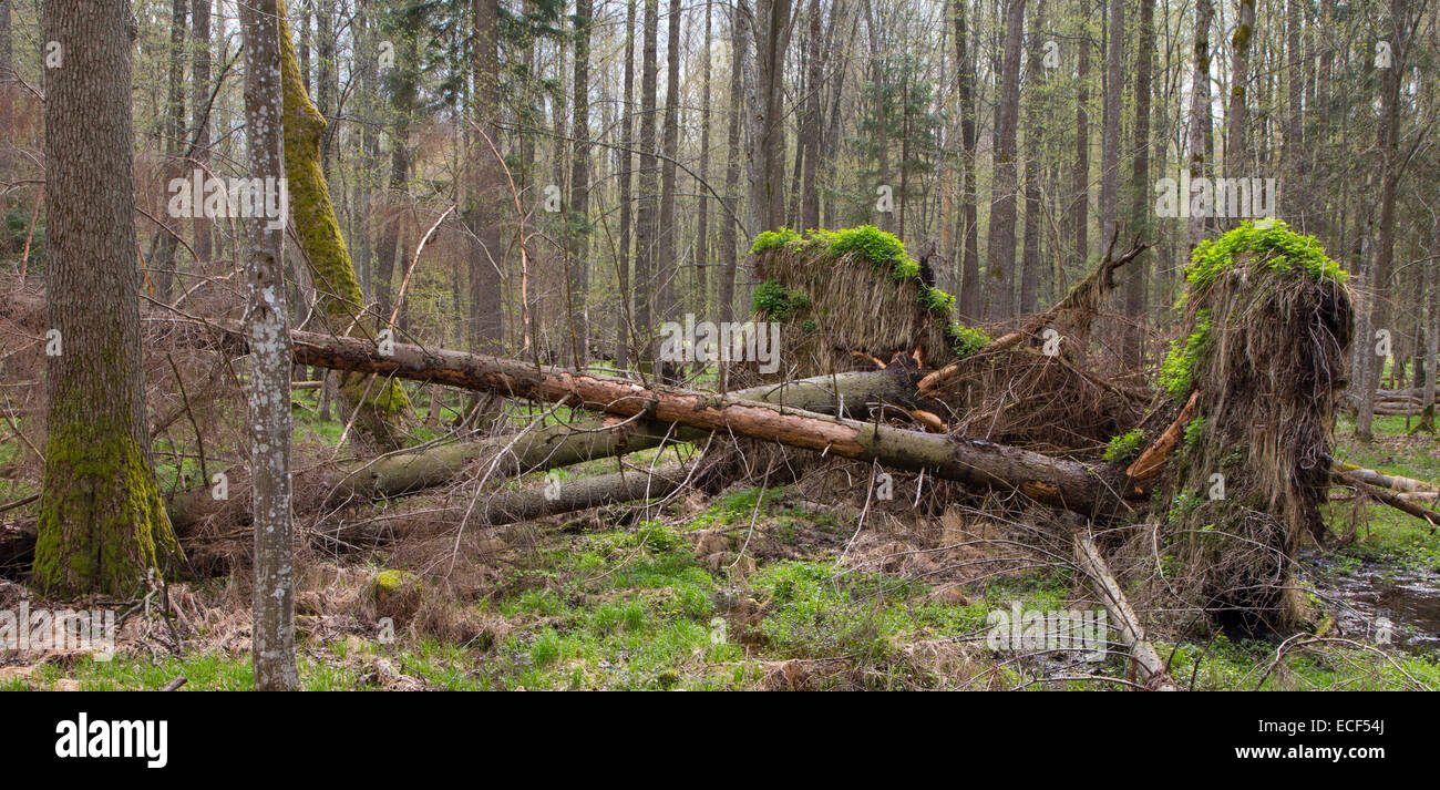 Springtime alder bog forest with standing water and storm broken spruce tree - Stock Image