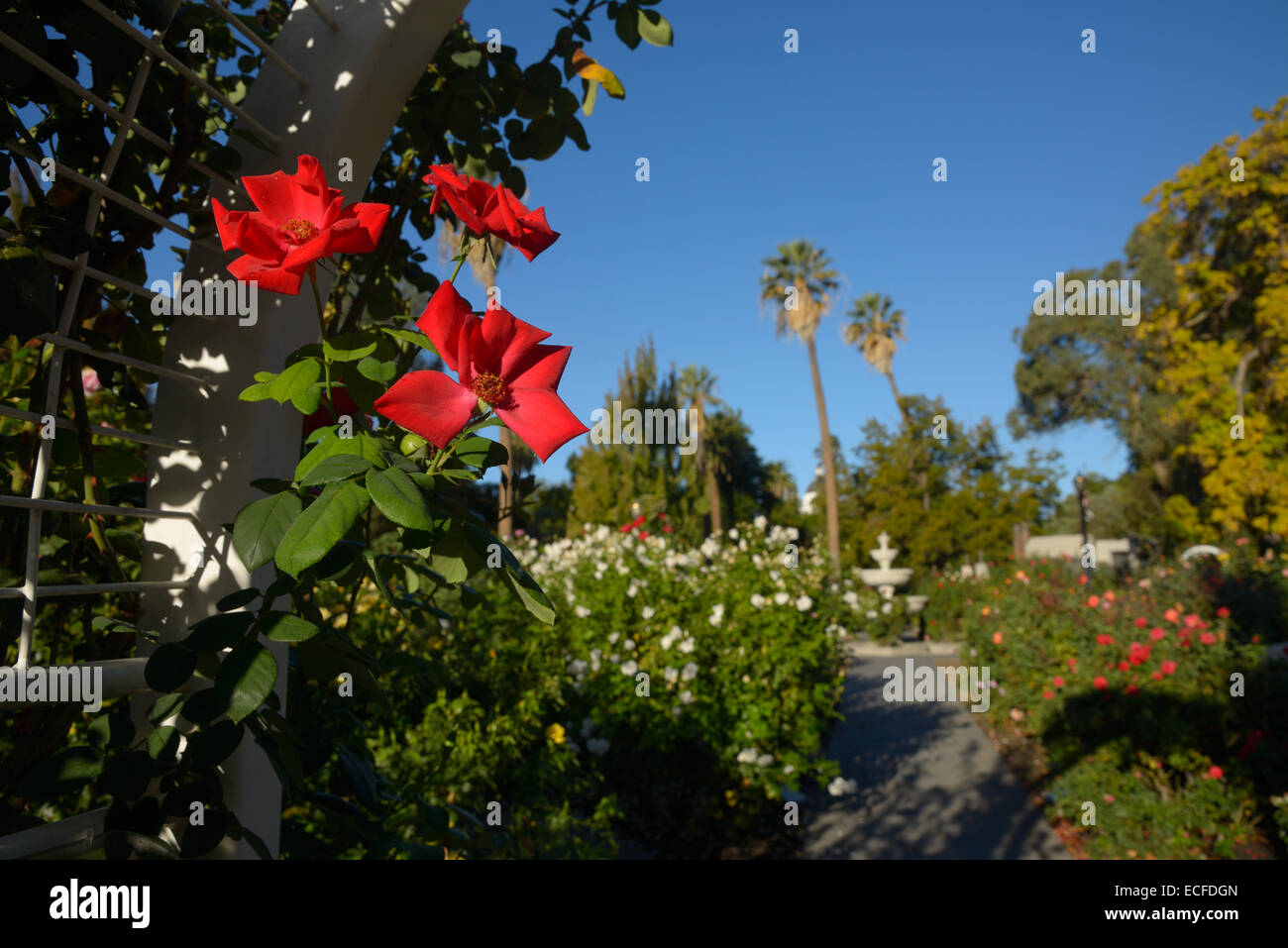 International World Peace Rose Garden, Sacramento CA - Stock Image
