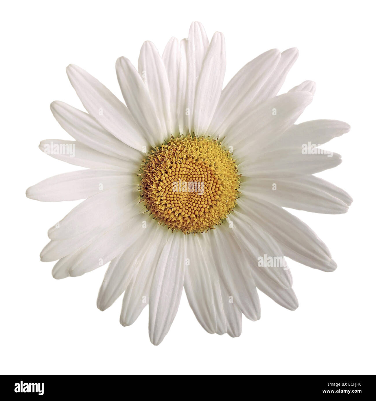 closeup of a beautiful daisy flower isolated on white background Stock Photo