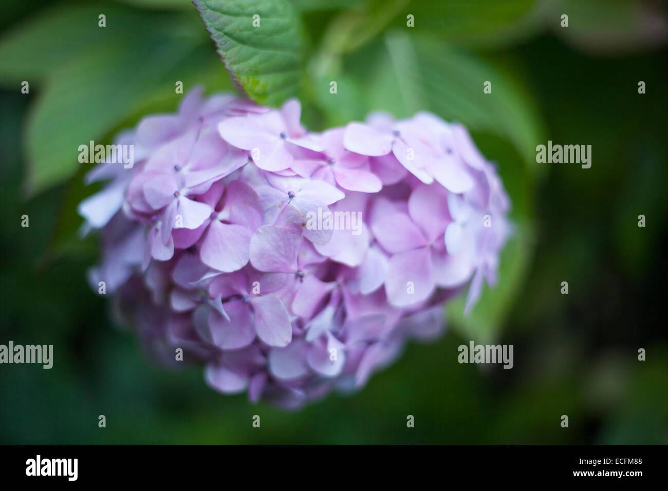 Pink Hydrangea Head - Stock Image
