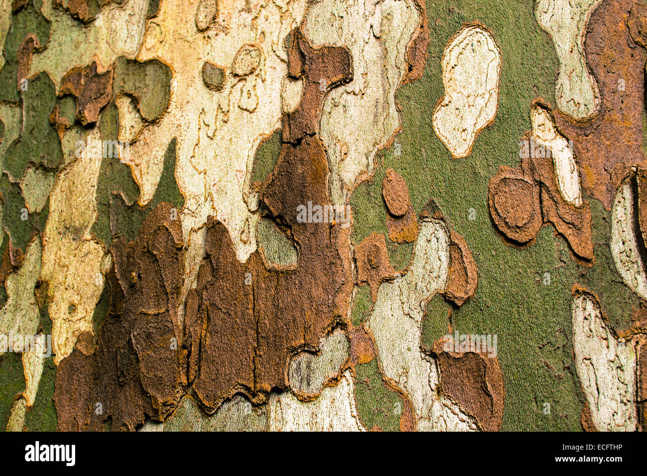 multi colored bark of a tree outdoor - Stock Image