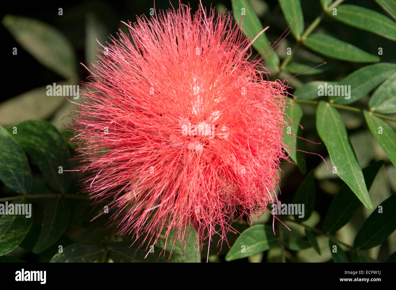 Pink Pom Pom Style Flower Photographed At The Eden Project In Stock