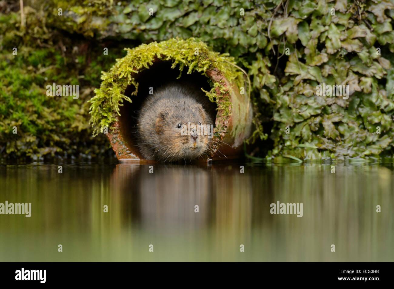 Water vole (Arvicola amphibius) in drainage pipe, Kent, England, UK. - Stock Image