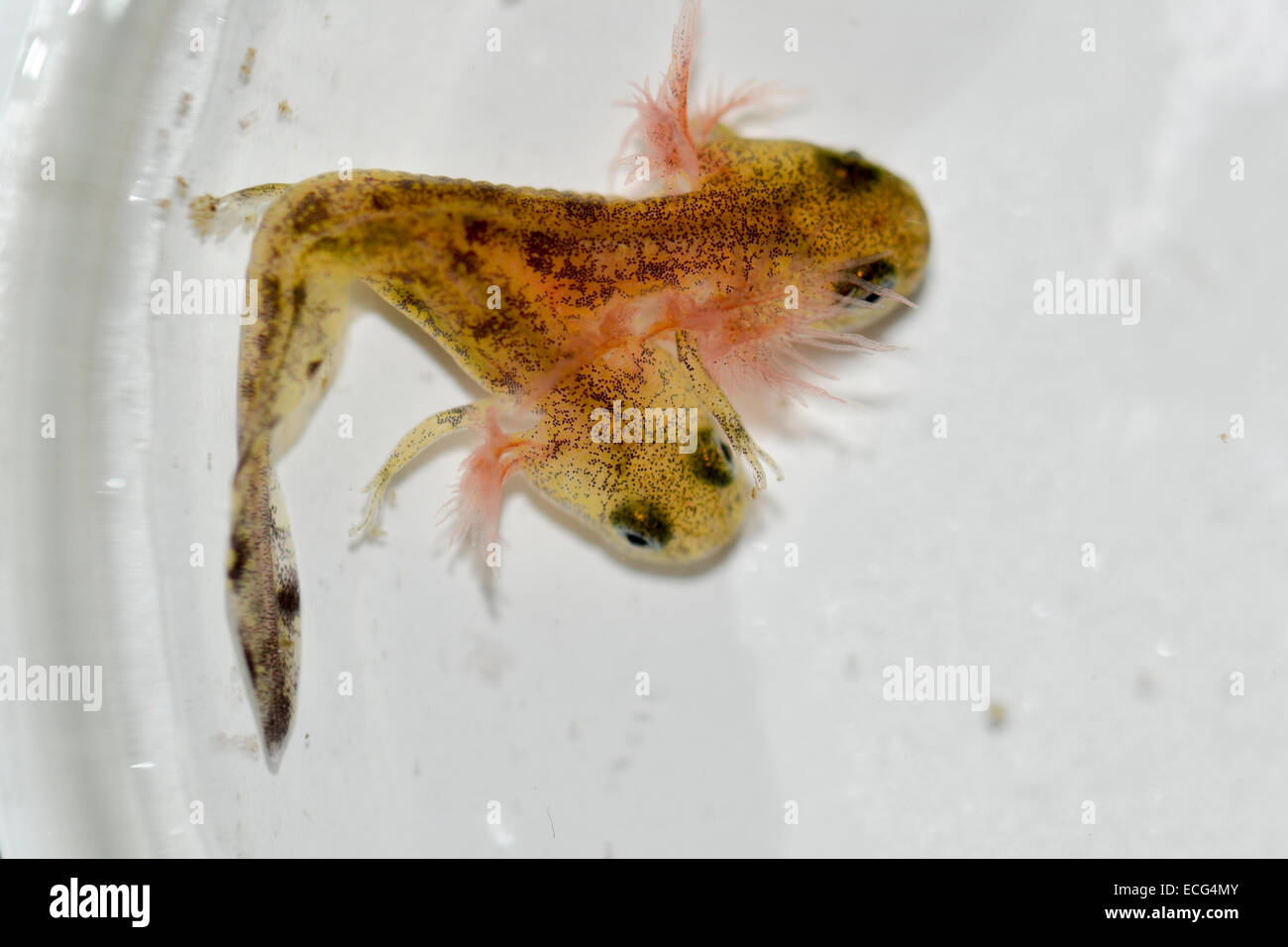 Two-headed Near Eastern fire salamander (Salamandra infraimmaculata) tadpole that was born last week in a community - Stock Image