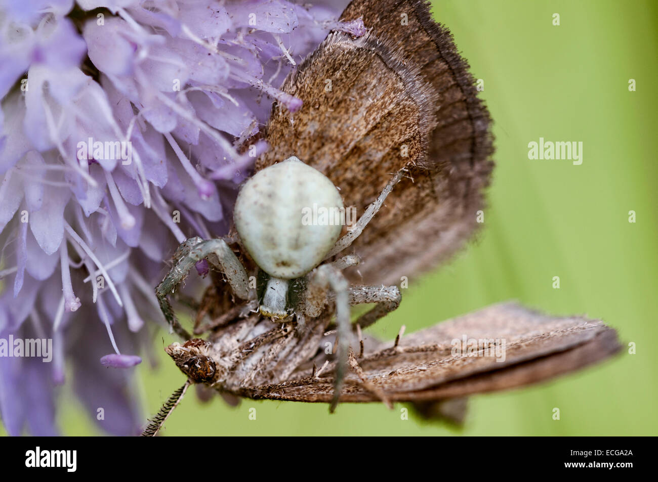 Spider with prey - Stock Image