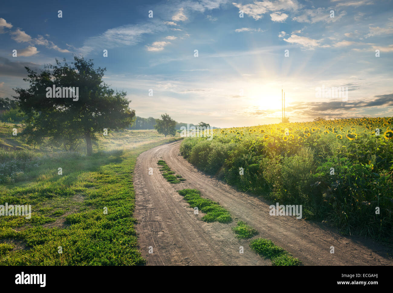 Country road near the field with sunflowers - Stock Image