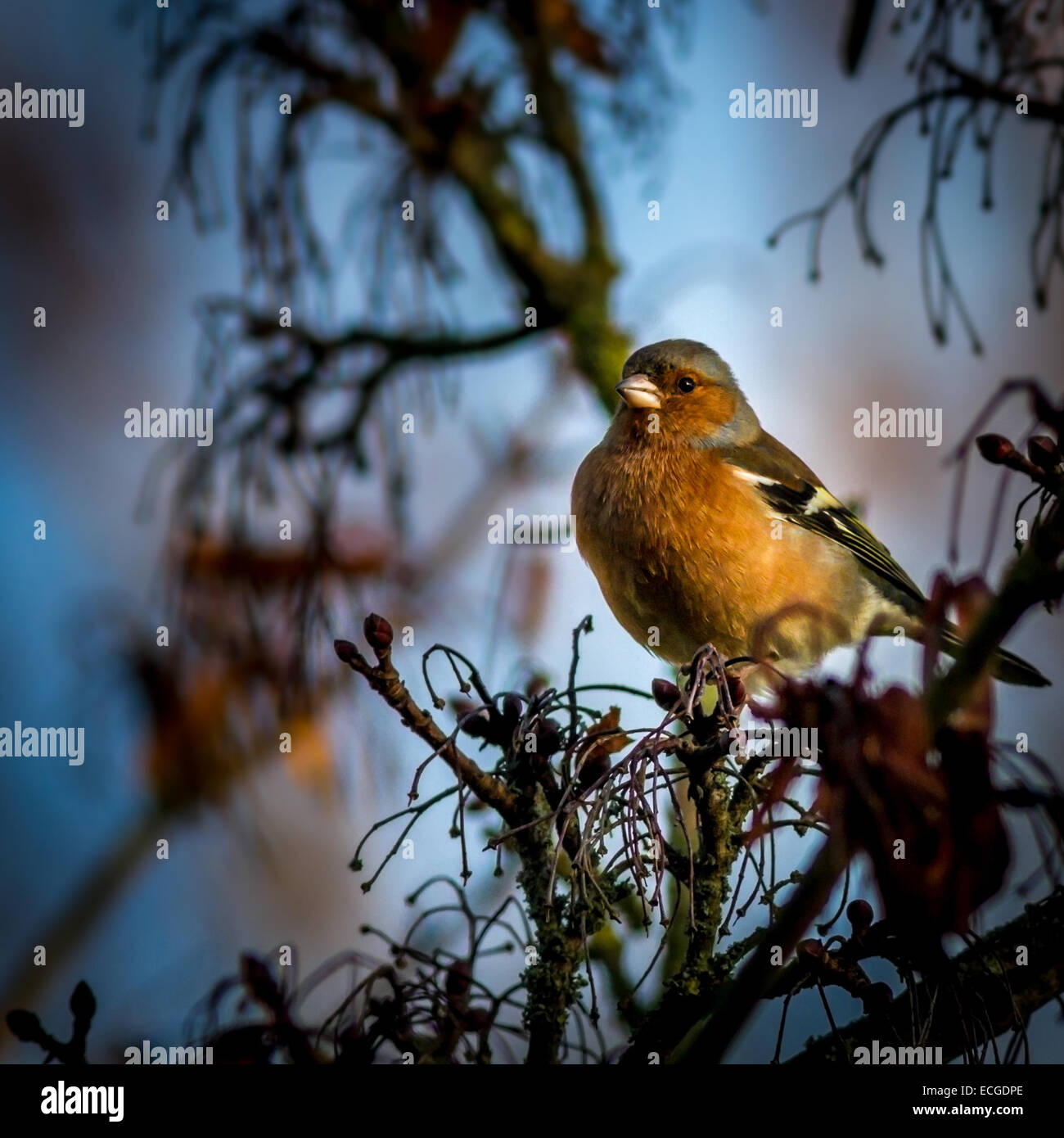 Chaffinch in the sunlight - Stock Image
