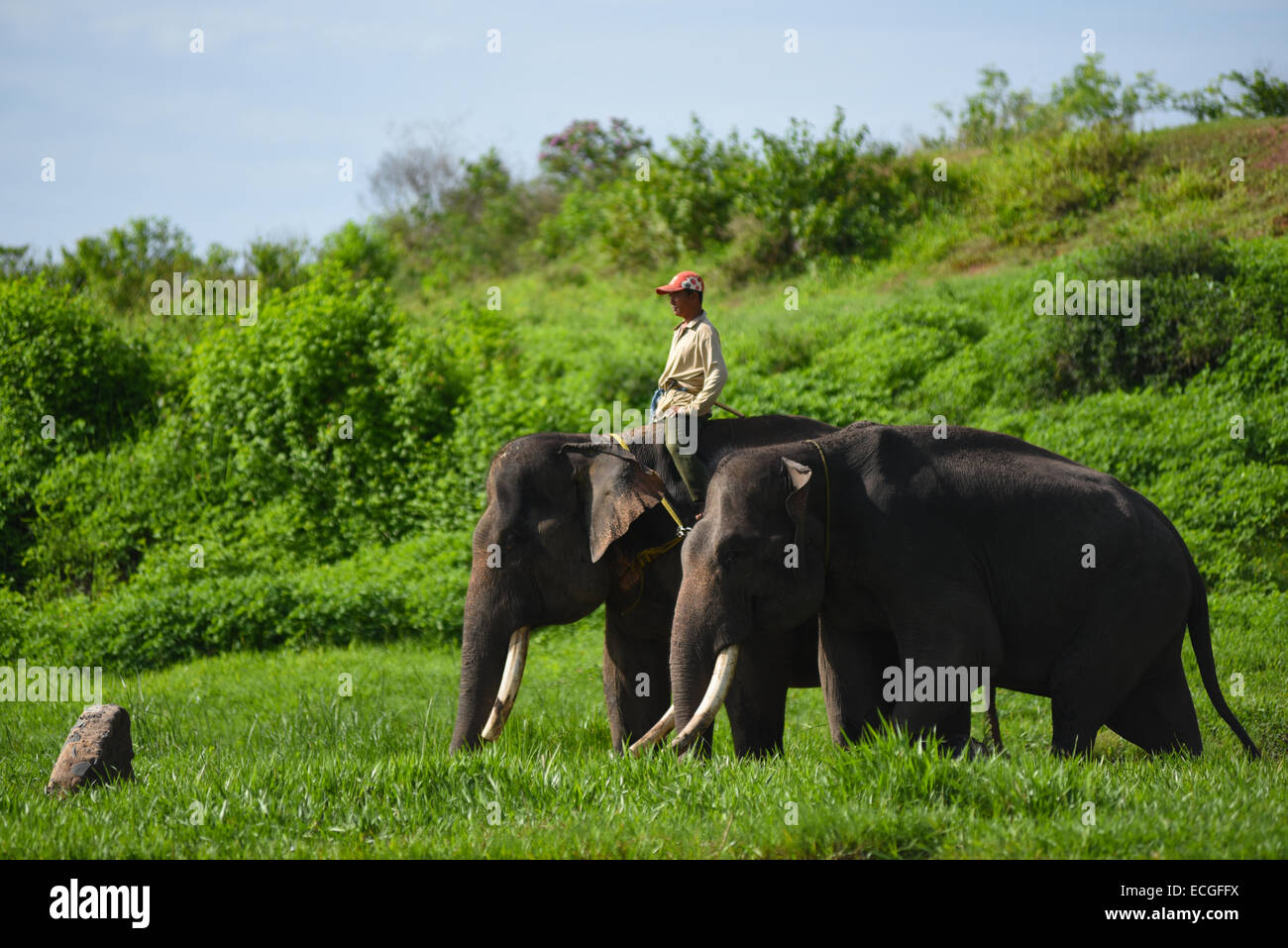 A mahout (elephant keeper) take his elephants to feeding ground at Elephant Conservation Center, Way Kambas National - Stock Image