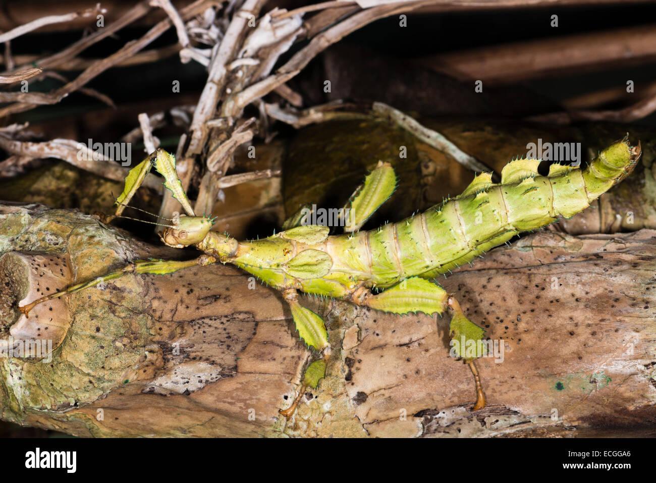 Australia caterpillar found giant xxx similar