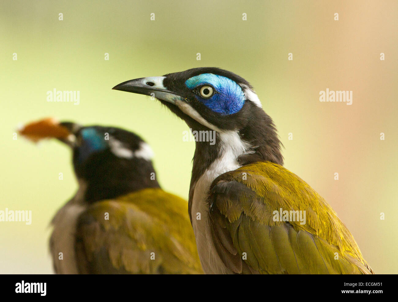 Close up of Australian blue-faced honeyeater, Entomyzon cyanotis, in the wild with second bird in distance against Stock Photo