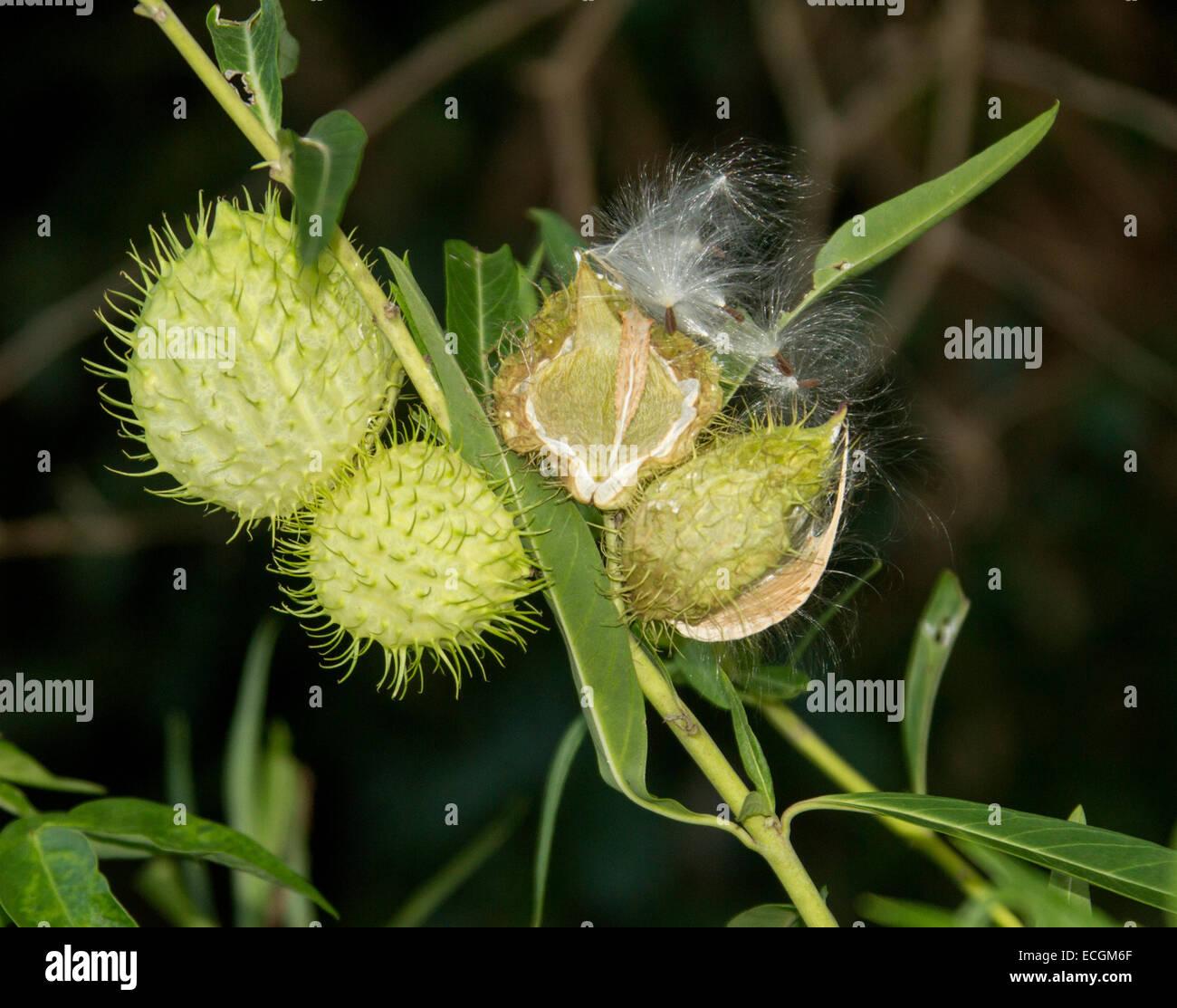 Seed Pods Of Weed Gomphocarpus Hysocarpus Balloon Cotton