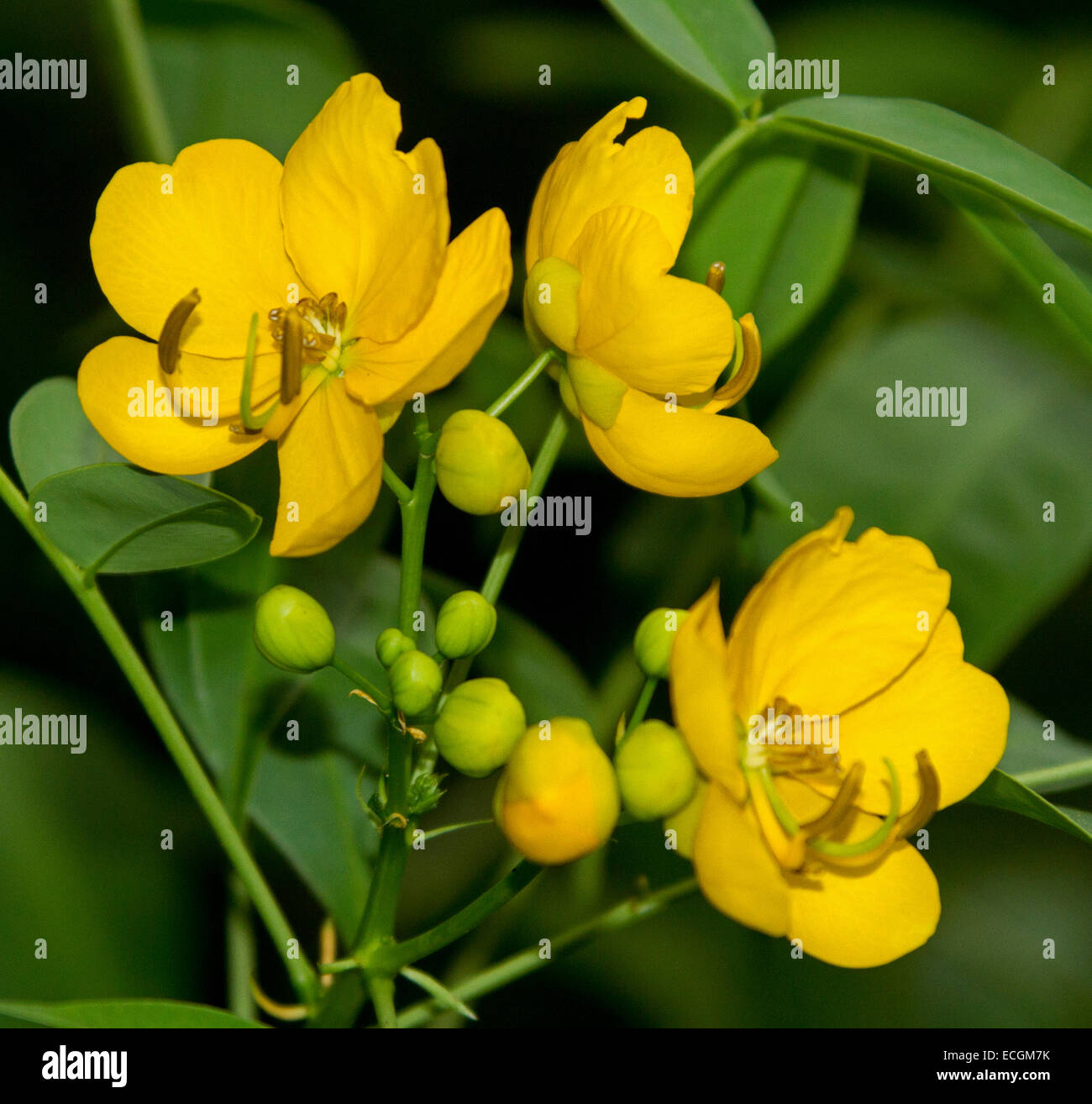 Cluster Of Golden Yellow Flowers Buds Of Easter Cassia Senna