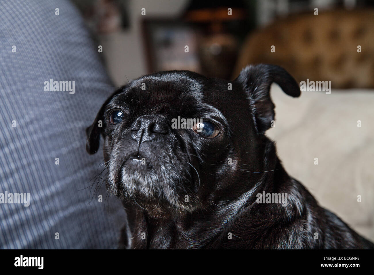 Pug on couch - Stock Image