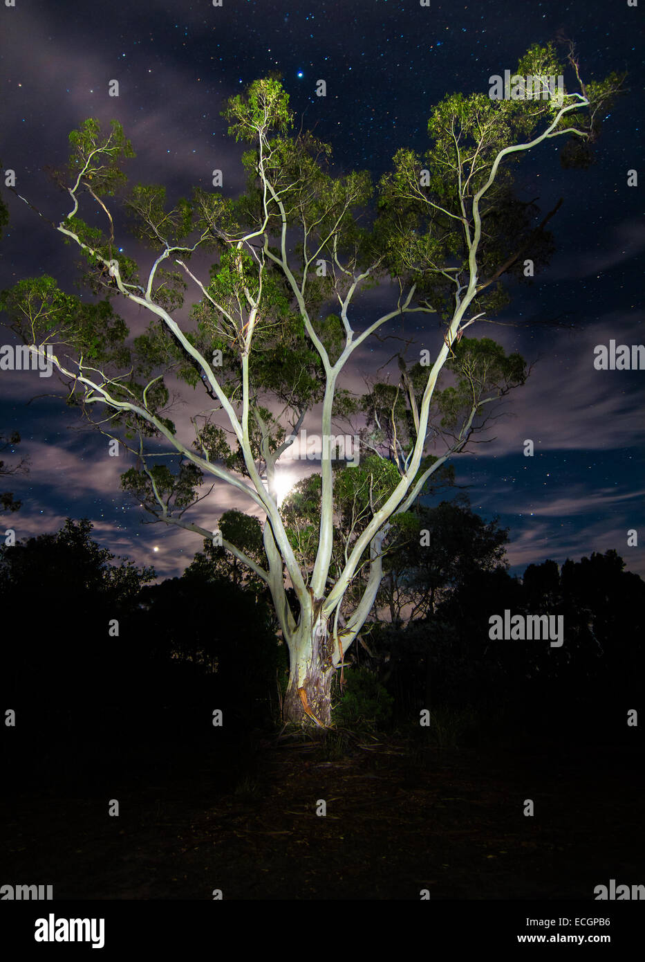 Lightning Tree - Eucalypt Illuminated at Night, with Moonlight - Stock Image