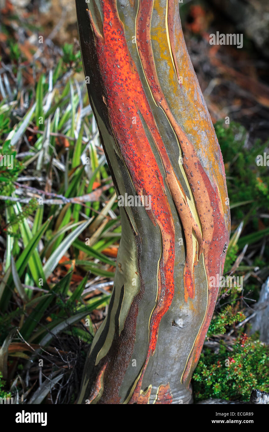 Colorful Eucalypt Bark, Tasmania, Australia - Stock Image