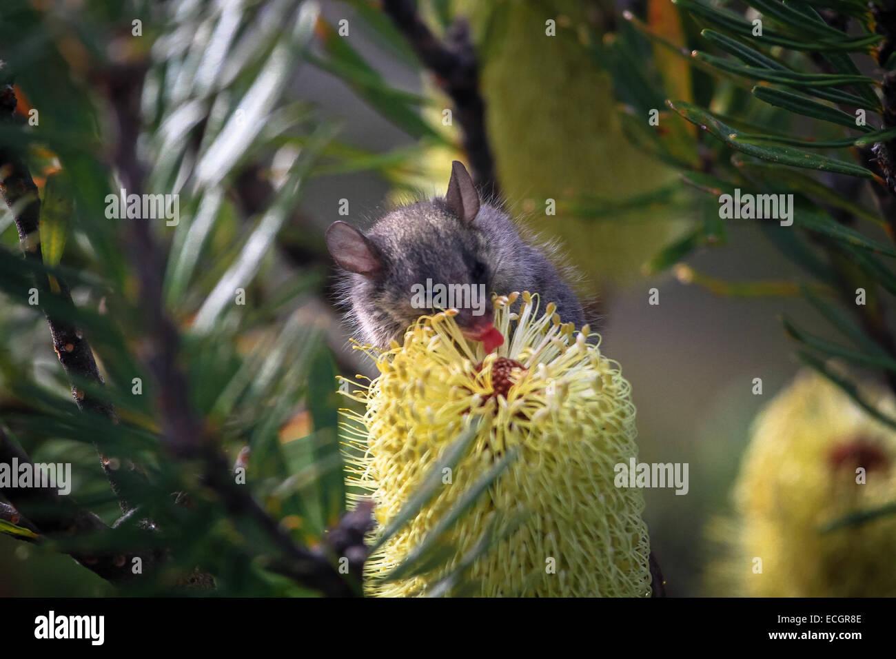 Mouse Licking Pollen on a Banksia cone, Tasmania - Stock Image