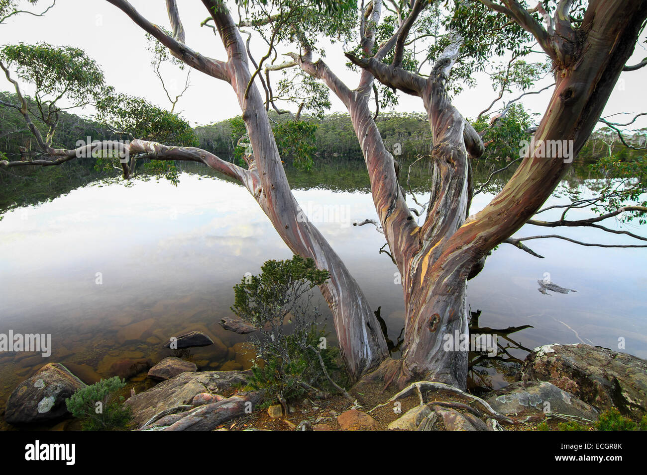 Eucalypt Tree Hanging Over Lake Dobson, Tasmania, Australia - Stock Image