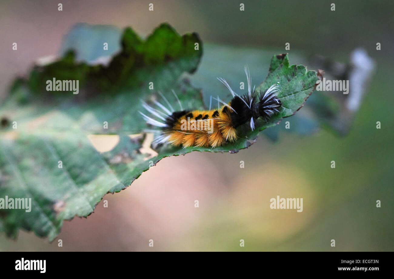 Banded Wooly Bear Caterpillar, Oregon, USA - Stock Image