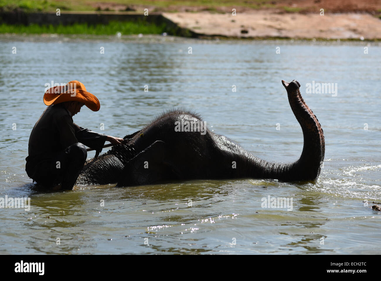A morning routine in Elephant Conservation Center in Way Kambas: mahout (elephant keeper) take their animals into - Stock Image