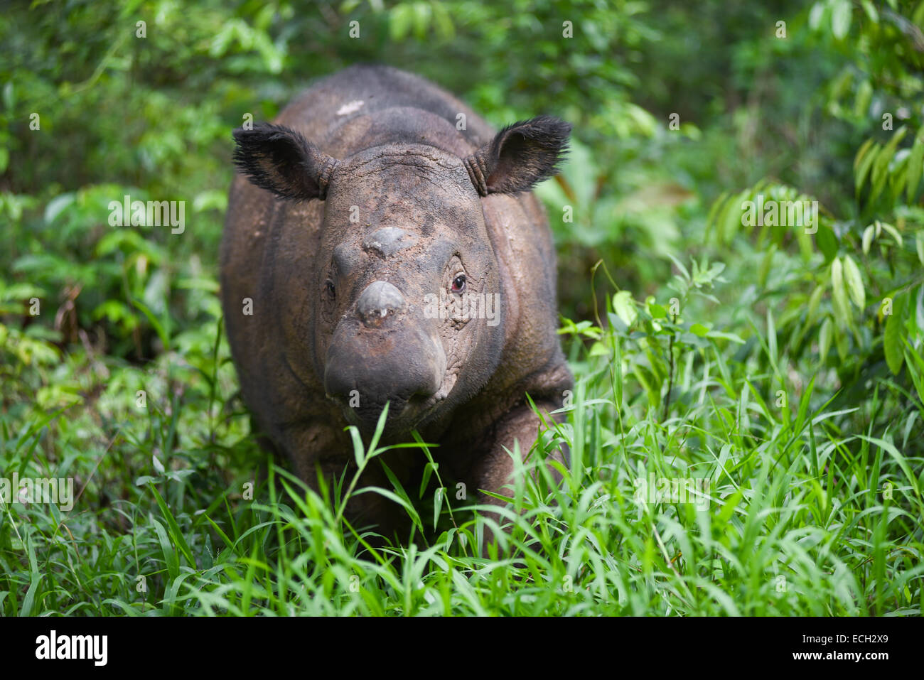 Andatu, the first Sumatran rhinoceros born in captivity in Indonesia. © Reynold Sumayku - Stock Image